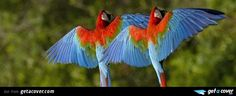An awesome Flying parrot facebook cover for your FB timeline. Choose from thousands of new Animals timeline covers with live preview.