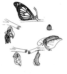 [Image, BIODIDAC, LEPI003B.GIF Arthropoda Insecta Life cycle of the monarch butterfly. Cycle vital dun papillon, le monarch.]