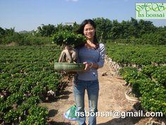 www.hsbonsai.cn Ficus Ginseng Bonsai