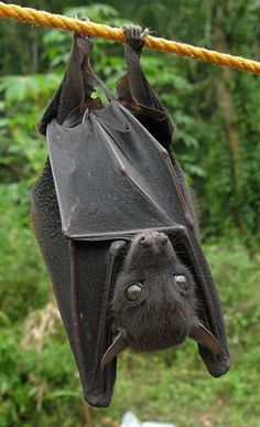 - that face! What a cutie.wish I could have a bat as a pet.OMG - that face! What a cutie.wish I could have a bat as a pet. Animals And Pets, Baby Animals, Cute Animals, Wild Animals, Murcielago Animal, Beautiful Creatures, Animals Beautiful, Cute Bat, Cute Baby Bats