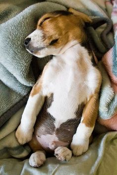 Love beagles