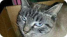 Bethpage, NY - Siamese. Meet Sheena, a cat for adoption. http://www.adoptapet.com/pet/14466210-bethpage-new-york-cat