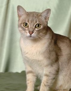 The Australian Mist (formerly called the Spotted Mist) is a cross between the Abyssinian cat (a nicely balanced and a very popular cat), the Burmese and domestic shorthair (mixed breed) cats.