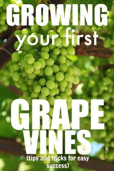 Gardening Grape vines are some of the easiest, most rewarding plants that you can grow! Perfect for beginner gardeners!Grape vines are some of the easiest, most rewarding plants that you can grow! Perfect for beginner gardeners! Hydroponic Gardening, Hydroponics, Container Gardening, Organic Gardening, Vegetable Gardening, Aquaponics Plants, Veggie Gardens, Aquaponics System, Indoor Gardening