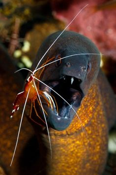 ✯ At the Dentists ... Shot at a cleaning station on a divesite called coral garden in Tulamben Bali. I dived this site five times and this moray was being cleaned every time I. This must be the cleanest moray of them all .. By Kim Yusuf✯