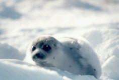 Phoque blanc - Recherche Google