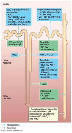 High Blood Pressure Remedies Mind Blowing Tips: Hypertension Nursing blood pressure diet treats. Natural Blood Pressure, Blood Pressure Chart, Blood Pressure Remedies, Renal Physiology, Human Anatomy And Physiology, Nursing Tips, Nursing Notes, Biochemistry, Nursing Students