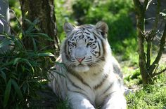 White tiger wallpaper by Havoc-elite.deviantart.com on @deviantART, need to change eye colour