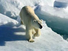 See a Polar Bear  - Bucket List #ExpediaWanderlust