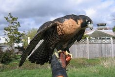 The peregrine falcon;  fastest breathing creature on Earth.  The perfect package, as all birds of prey are.  Speed, grace, beauty, power...all in one spectacular package.