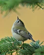 The Goldcrest (Regulus regulus) is a very small passerine bird in the kinglet family.