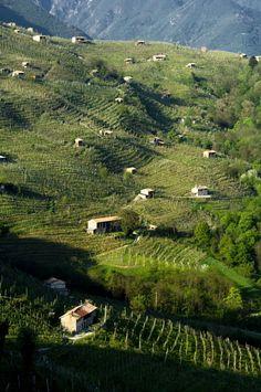 Vineyards, in Conegliano Valdobbiadene hills, Veneto, Italy