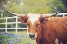 Your place to buy and sell all things handmade Texas Photography, Texas Longhorns, Fine Art Photo, Nature Animals, Portrait, Decoration, Wild Flowers, Cow, My Etsy Shop