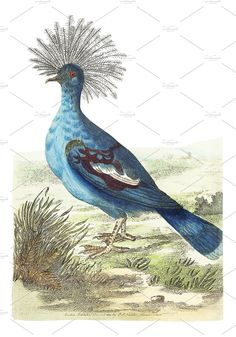 Illustration of crowned pigeon - Animals - 1