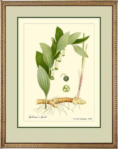 SOLOMN'S SEAL  Vintage Botanical print reproduction by PosterPlace