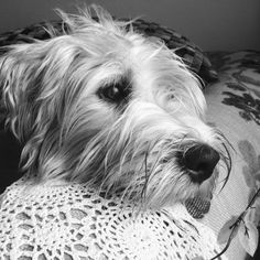 Wheaten Terrier Mix, Wales, Future, Board, Dogs, Animals, Future Tense, Animales, Animaux