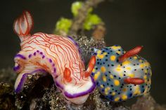 Nudibranchs - all you need to know about these fascinating and colourful sea slugs, and where you can dive with them Underwater Creatures, Ocean Creatures, Beautiful Sea Creatures, Animals Beautiful, Colorful Animals, Cute Animals, Colorful Fish, Tropical Fish, Sea Slug