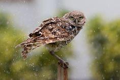 burrowing owl hd 3600x2400