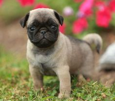 Cute Pug Puppy Cute Pug Puppies, Pug Dogs, Cute Pugs, Dogs And Puppies, Like Animals, Cute Baby Animals, Cute Pug Pictures, Funny Bulldog, Fawn Pug