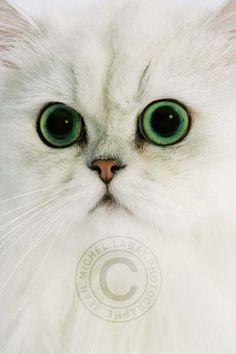 Amazing eyes - Chinchilla cat