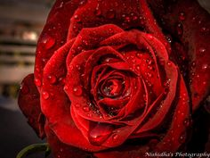 Water Drops on Red Rose #photography #rose