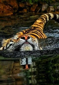 Tiger Swimming ❤️ #BigCatFamily