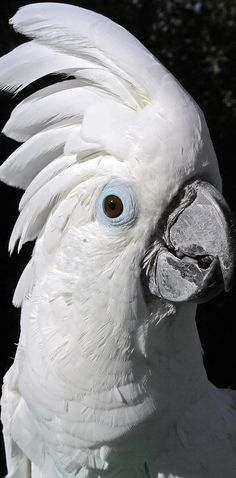 Cockatoos: The cuddle bugs of the parrot world.  But also the most misunderstood.