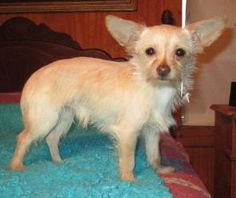 MEEKO is an adoptable Chihuahua Dog in Staten Island, NY. PLEASE CONTACT dogtiredjanet@hotmail.com for this puppy. DOGTIRED RANCH SMALL DOG RESCUE HAS OVER 20 PUPPIES AND 60 DOGS FOR ADOPTION, WE ONLY...