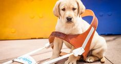 The Life of a Guide Dog - Have you ever wondered what life is like for a guide dog?