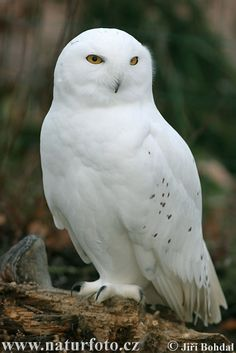 White Owl... I haven't found the meaning thus far... she watches over me nonetheless