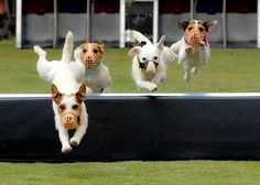 Yeaaaaaaaaaaoowwwwwwwwwwww!!!! | 19 Jack Russell Terriers Totally Defying The Laws Of Physics