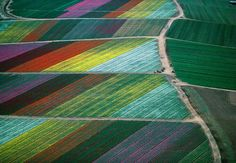 The fields of flowers, Bollenstreek,  Holland,  The Netherlands