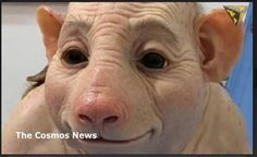 SCIENTIST: Humans are Hybrids of Pigs and Chimpanzees