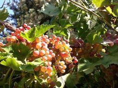 Cheryl's beautiful grapes!