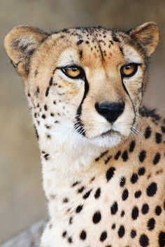 Cheetah by LisaDiazPhotos on Flickr.