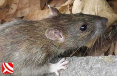 Rat Control in Bristol with your local pest control specialist WaspKill UK Bristol, Getting Rid Of Rats, Rat Control, Pest Control Services, Garden Guide, Rodents, Fleas, Trail, Animals