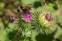 Kostenloses Foto: Biene, Fliege, Distelblüte - Kostenloses Bild auf Pixabay - 914448