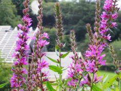 Flowers in Llandrindod Wells, Wales