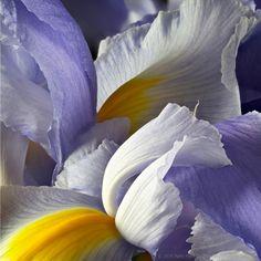 Lavender Siberian Irises © 2016 Patty Hankins
