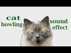 The Animal Sounds: Cat Howling - Sound Effect - Animation