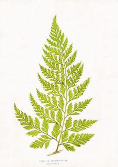 i want a tattoo of a vintage fern lithograph (e. j. lowe, 1858)
