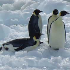 On land Emperor Penguins waddle along at a speed of about 2.5 km per hour. They can get going faster if they find a good downslope – they plop down on their bellies and toboggan their way down to the bottom.