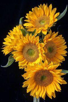 flowersgardenlove:  Solar Flare Sunflowers ~ Beautiful, gorgeous flowers