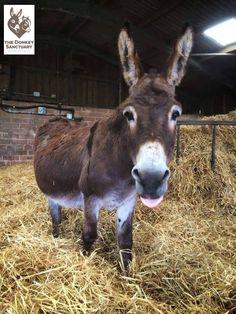 Donkey Pics, Mini Donkey, The Donkey, Funny Horse Pictures, Miniature Donkey, Rhinos, Eeyore, Deer Hunting, Burritos