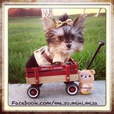 Misa Minnie is pawsitively brilliant! Biewer Yorkie, Teacup Yorkie, Yorkie Puppy, Yorkie Hair, Cute Little Puppies, Cute Puppies, Cute Dogs, Dogs And Puppies, Doggies