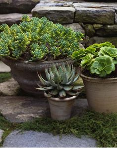 succulents potted