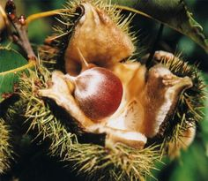 How to Grow American Chestnut Trees From Seed thumbnail