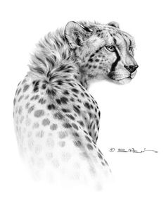 Cheetah - by Bill Melvin (graphite drawing)
