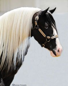 Beautiful black paint horse with blue eyes.