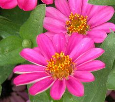 Profusion Zinnias Regular garden zinnias come in a wide range of colors but are subject to disease and insect problems, especially powdery m...